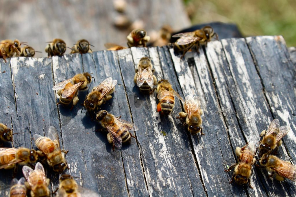 Honey bees with pollen attached to legs
