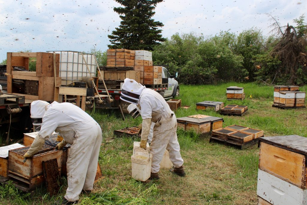 Workers in the bee yard